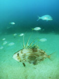 John Dory  New Zealand