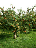 "Apple Tree with Fruit in Autumn Malus ""May Queen"""