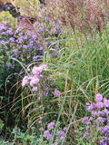 Aster (Frost Flower) and Miscanthus (Ornamental Grass)  Plants in an Autumn Border