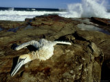 Cape Gannet  with Broken Neck  South Africa