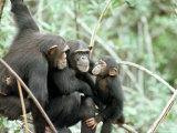 Chimpanzees, Chimp Family, W. Africa Papier Photo par Mike Birkhead