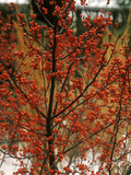 "Ilex Verticillata ""Winter Red"""