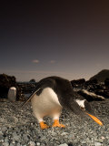 Gentoo Penguin  Bending Over  Sub Antarctic