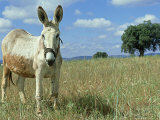 Domestic Donkey  May  Spain