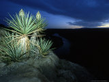Giant Dagger Yucca  Texas  USA