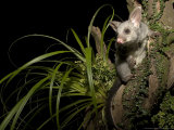 Brushtail Opossum at Night  New Zealand