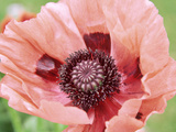 Papaver Fiesta  Salmon Coloured Flower with Anthers