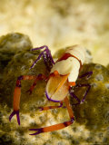 Emperor Shrimp (Periclimenes Imperator) on Holothurian (Synapta Maculata)  New Caledonia