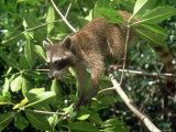 Raccoon  Colombian Caribbean