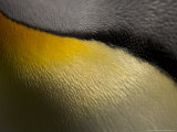 King Penguin  Close up Detail  Sub Antarctic