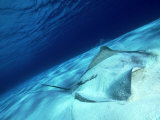 Short Tail Stingray  Beveridge Reef