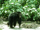 Chimpanzee  Walking  W Africa