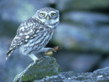 Little Owl  with Cricket  Spain