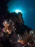 Lionfish  Reef Panorama  New Caledonia
