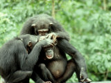 Chimpanzee  Grooming  W Africa