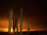 Cordon Cacti  Panorama  Mexico