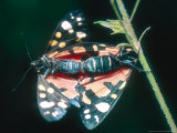 Scarlet Tiger Moth  Mating  UK