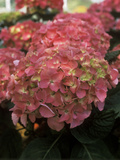"Hydrangea ""Freudenstein"" in Flower"