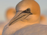 Australian Gannet  Portrait  New Zealand