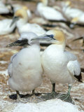 Australian Gannet  Female and Chick  New Zealand