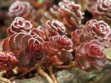 Sedum Spurium &quot;Dragons Blood&quot; (Stonecrop)  October