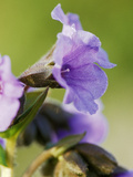 "Pulmonaria Saccharata ""Fruhingshimmel"" (Lungwort) Bethlehem Sage) Close -Up Mauve Flower February"
