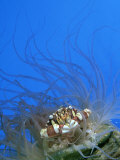 Swimmer Crab  Sheltering in Anemone  Tonga