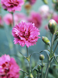 Dianthus Morning Star (Pinks)  Pink Flowers on Atop Stems  Whetman Pinks Ltd National Collection