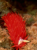 Nocturnal Nudibranch  New Zealand