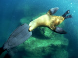 Diver Playing with Californian Sea Lion  Mexico