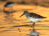 Western Sandpiper  Florida  USA