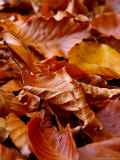 Fagus Sylvatica (Beech)  Close-up of Fallen Autumn Leaves