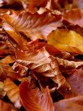 Fagus Sylvatica (Beech)  Close-up of Fallen Autumn Leaves