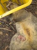 Oppossum on Dead Mother  New Zealand