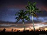 Coconut Palm  Florida  USA