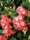 Rhododendron Yakushimanum &quot;Sonatine&quot; in Flower
