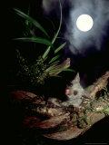 Brushtail Opossum  Juvenile  New Zealand