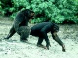 Common Chimpanzee  Mating  Africa