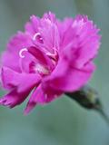 Dianthus Warden Hybrid
