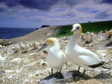 Australian Gannet  Pair  New Zealand