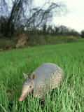 Nine-Banded Armadillo  Texas  USA