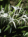 Hymenocallis (Spider Lily) in Flower