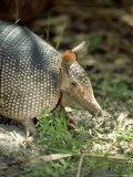 Nine-Banded Armadillo  Florida  USA