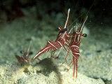 Hingeback Shrimp, Dancing, New Caledonia Papier Photo par Tobias Bernhard