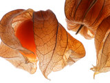 Physalis Fruit (Chinese Lantern)  Ripe Fruit Against White Background