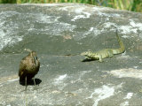 Nile Monitor  and Hammerkop  Africa