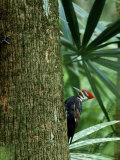 Pileated Woodpecker  Florida  USA