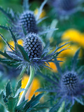 "Eryngium Alpinum ""Blue Star"" (Sea Holly)"