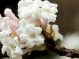 Viburnum Bodnantense  Deciduous Shrub  Tubular White Flowers Tinted with Pale Pink