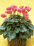 Mini Cyclamen in Rustic Pot Spring